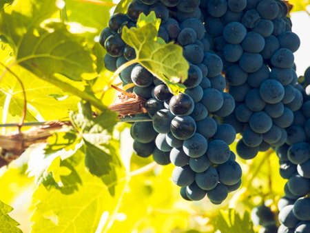 grape field: Red grapes ready to be harvested at a vineyard. Stock Photo