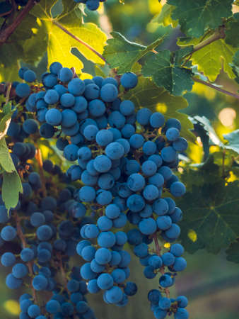 Red grapes ready to be harvested at a vineyard. 写真素材