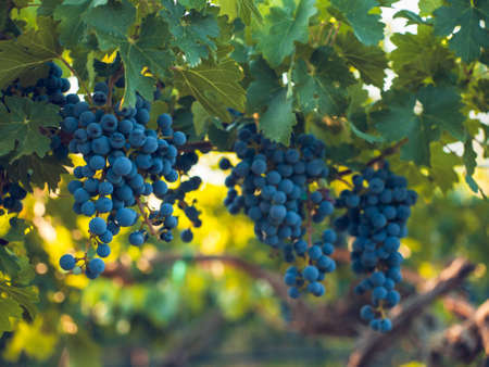 syrah: Red grapes ready to be harvested at a vineyard. Stock Photo