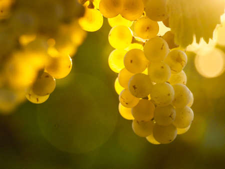 sauvignon blanc: White grapes ready to be harvested. Stock Photo