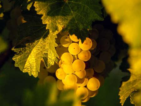 union familiar: Las uvas blancas listas para ser cosechadas.
