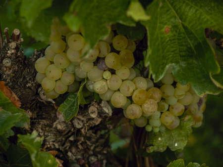 sauvignon blanc: White grapes ready to be harvested. Stock Photo