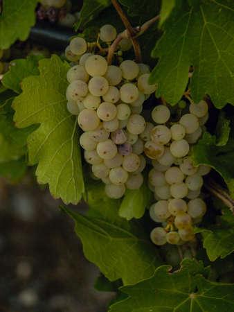 union familiar: Las uvas blancas listas para ser cosechadas