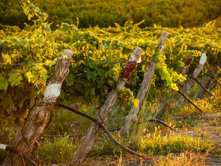 Grapes ready to be harvested at a vineyard in Palisade, Colorado. photo