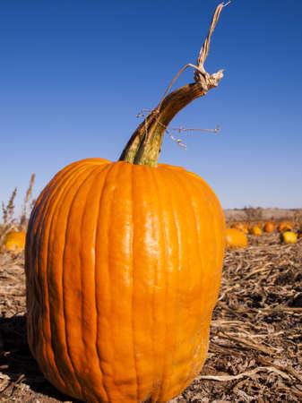 cucurbita: Pumpkins ready for harvesting on farm field in Autumn.
