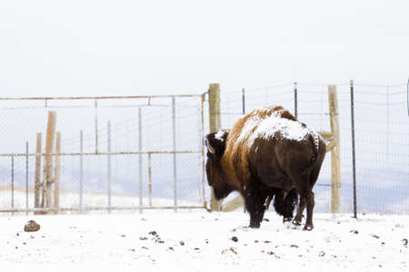 Adult American buffalo standing in the snow. A light dusting of snow accents buffalos face.