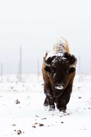 daniels: Adult American buffalo standing in the snow. A light dusting of snow accents buffalos face.