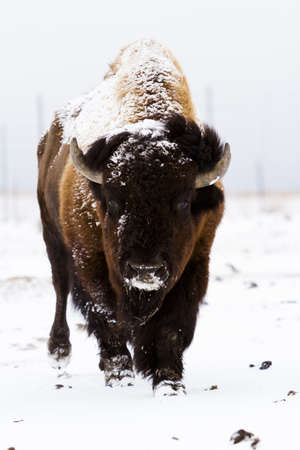 Adult American buffalo standing in the snow. A light dusting of snow accents buffalo's face. photo