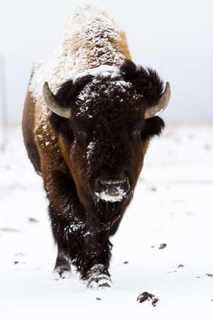 Adult American buffalo standing in the snow. A light dusting of snow accents buffalos face. photo