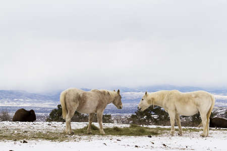 Two white horses grazing in the snow.