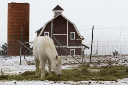 White horse grazing near a red barn in the winter. Stock Photo - 16860536
