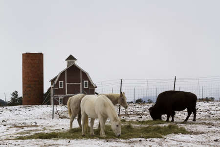 Two white horses and one buffalo grazing near a red barn in the winter.