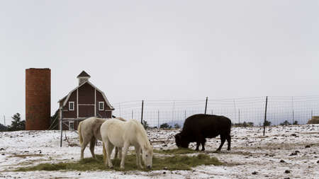 red mountain open space: Two white horses and one buffalo grazing near a red barn in the winter. Editorial