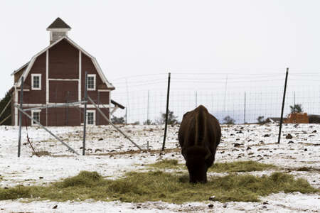 daniels: Adult American buffalo standing in the snow.
