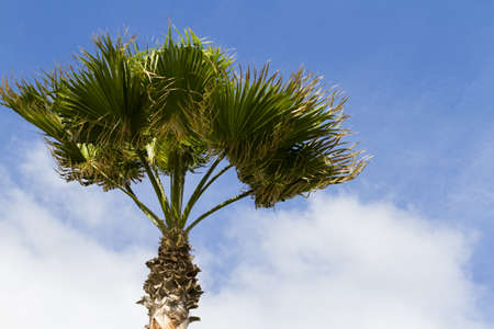cameron county: One palm with blue sky background.