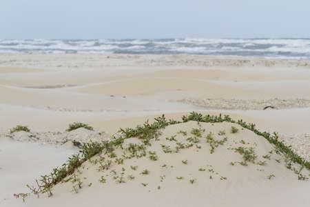 Coastal dunes of South Padre Island, TX. photo