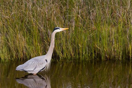 distanation: Great blue heron in natural habitat on South Padre Island, TX.