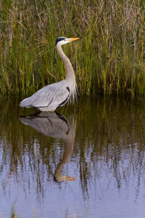 barrier island: Great blue heron in natural habitat on South Padre Island, TX.