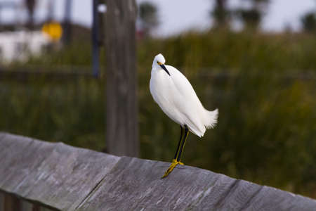Snowy egret in natural habitat on South Padre Island, TX. Stock Photo - 17198000