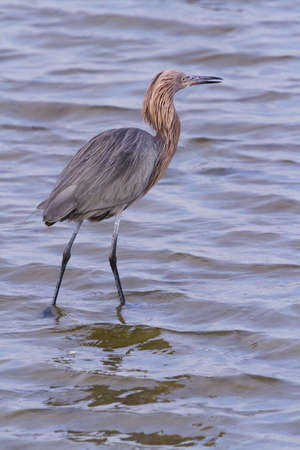 south padre: Reddish heron in natural habitat on South Padre Island, TX. Stock Photo