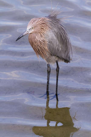 south padre: Reddish heron in natural habitat on South Padre Island, TX. Stock Photo