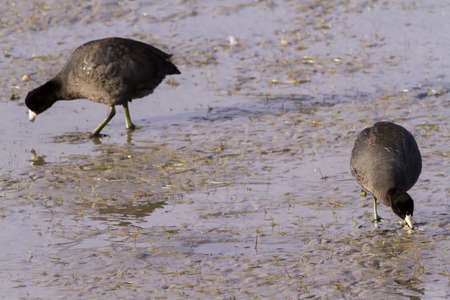 Common moorhen in natural habitat on South Padre Island, TX. Stock Photo - 17197320