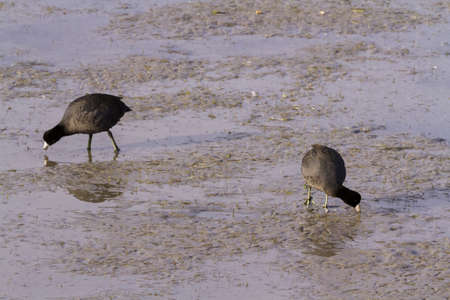 south padre: Common moorhen in natural habitat on South Padre Island, TX. Stock Photo