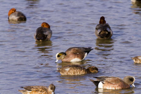 Redhead ducks in natural habitat on South Padre Island, TX. Stock Photo - 17197400