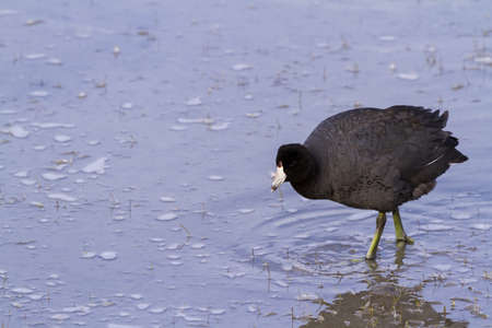 Common moorhen in natural habitat on South Padre Island, TX. Stock Photo - 17198550