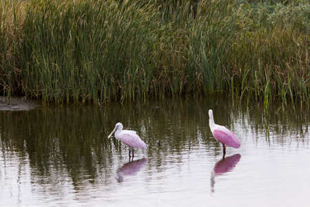 roseate: Roseate spoonhill in natural habitat on South Padre Island, TX.