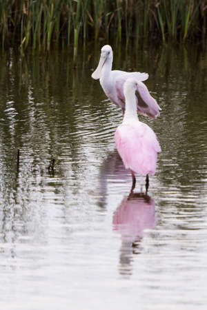 cameron county: Roseate spoonhill in natural habitat on South Padre Island, TX.