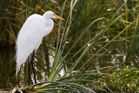 south padre island: Snowy egret in natural habitat on South Padre Island, TX.