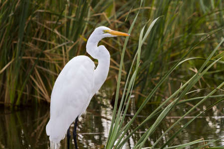distanation: Snowy egret in natural habitat on South Padre Island, TX.