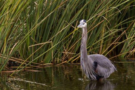Great blue heron in natural habitat on South Padre Island, TX. Stock Photo - 17197378
