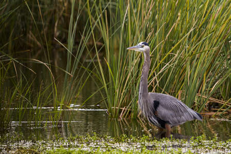 Great blue heron in natural habitat on South Padre Island, TX. Stock Photo - 17196590