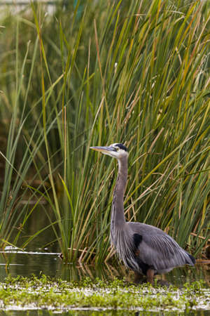 cameron county: Great blue heron in natural habitat on South Padre Island, TX.