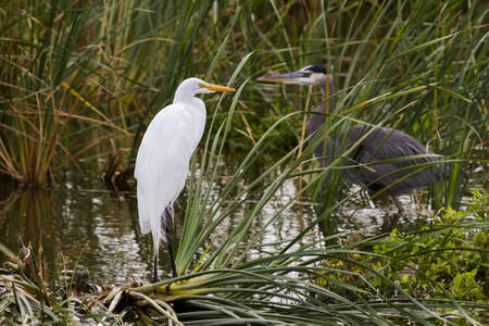 cameron county: Snowy egret in natural habitat on South Padre Island, TX.