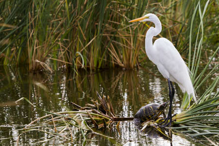 south padre: Snowy egret in natural habitat on South Padre Island, TX.