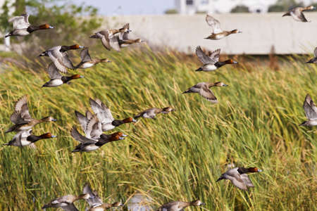 cameron county: Redhead ducks in natural habitat on South Padre Island, TX. Stock Photo