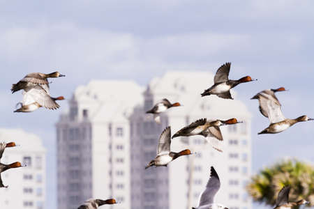 south padre: Redhead ducks in natural habitat on South Padre Island, TX. Stock Photo
