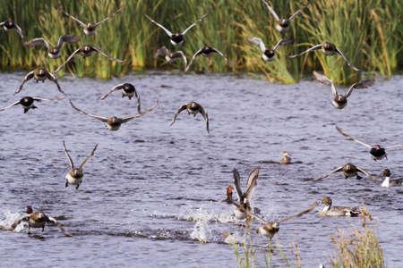distanation: Redhead ducks in natural habitat on South Padre Island, TX. Stock Photo