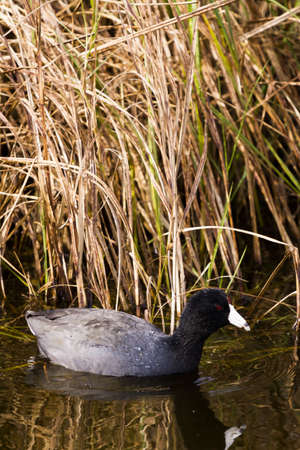 south padre island: Common moorhen in natural habitat on South Padre Island, TX. Stock Photo