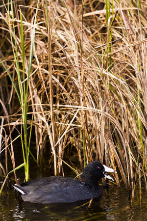 cameron county: Common moorhen in natural habitat on South Padre Island, TX. Stock Photo