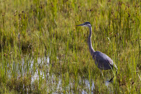 Great blue heron in natural habitat on South Padre Island, TX. Stock Photo - 17196669