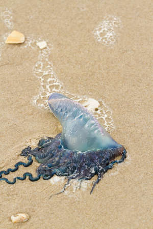 Portuguese Man O War Jellyfish on the beach of South Padre Island, TX. photo
