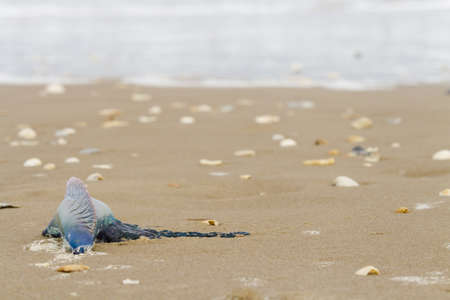 Portuguese Man O War Jellyfish on the beach of South Padre Island, TX. Stock Photo - 17198443