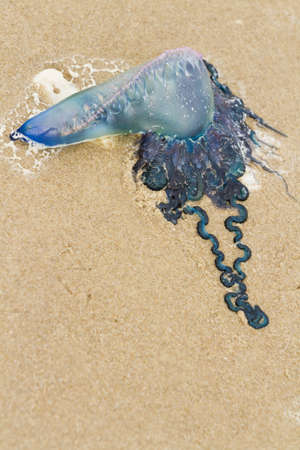 granula: Portuguese Man O War Jellyfish on the beach of South Padre Island, TX. Stock Photo