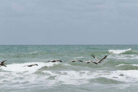cameron county: Brown pelicans near the shore of South Padre island, TX.