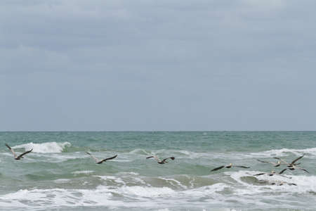 south padre: Brown pelicans near the shore of South Padre island, TX.