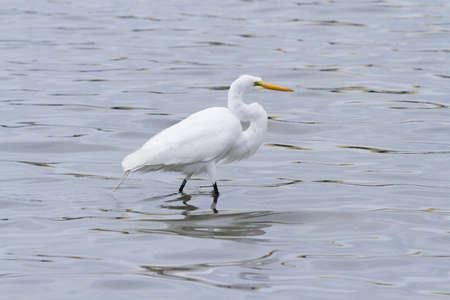 south padre: Snowy egret in native habitat on South Padre Island, TX. Stock Photo